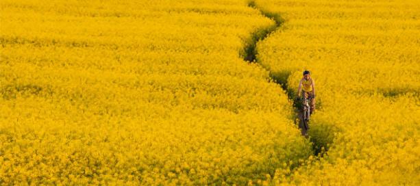 fietser over smal paadje door veld met gele bloemen